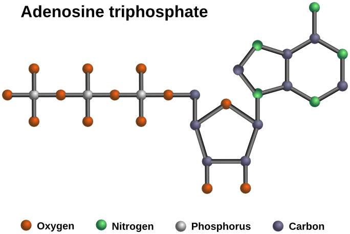 atp-adenosintrifosfato Respirazione cellulare
