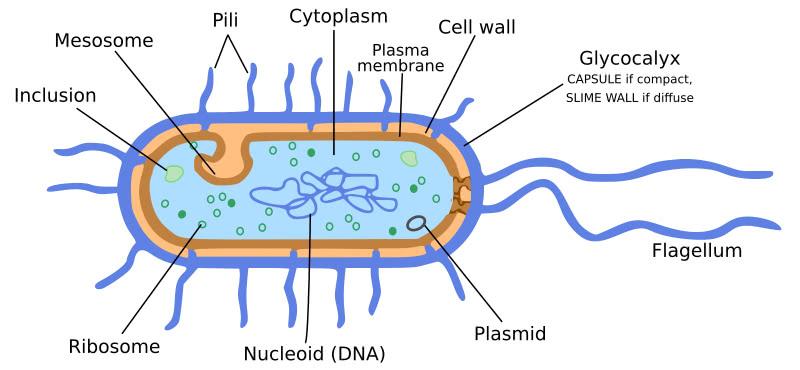 bacteria_cell_diagram I Batteri