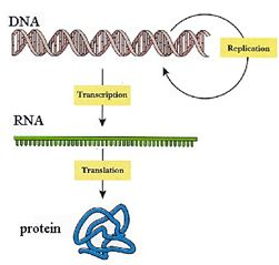 funzioni-dna-schema Gli acidi nucleici (DNA e RNA)