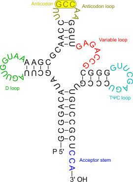 rna-transfer Gli acidi nucleici (DNA e RNA)