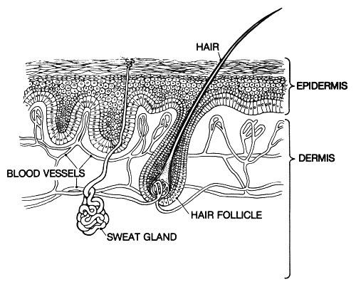 sezione-pelle-con-epidermide I tessuti animali