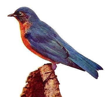 uccello-con-piumaggio-blu-e-arancio Le basi della genetica